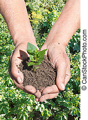 peasant hands with handful soil with green sprout