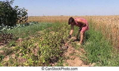peasant harvest potato