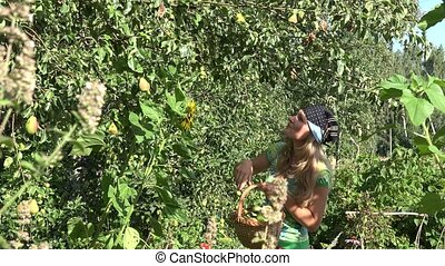 peasant woman girl harvest ripe pear fruits to wicker basket...