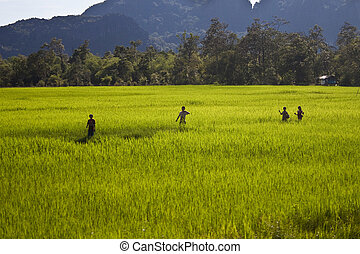 Peasants on a paddy field in Laos