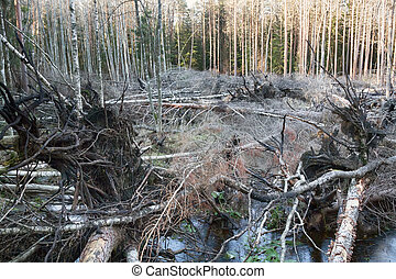 Peat fire; ground fire in boreal mixed forests of Europe. As result of fire tree roots were burned, forest fell over entire area of fire chaotically. Then waterlogging. Silviculture and forestery