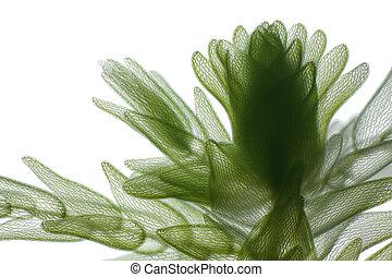 Microscopic view of peat moss (Sphagnum). Brightfield illumination.
