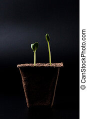 peat pot with seedlings on a dark background