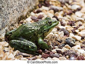 Pebble frog - Frog on pebbles