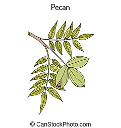 Pecan Carya illinoinensis nuts with leaves. Hand drawn...