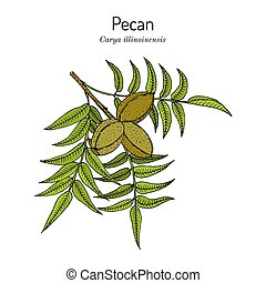 Pecan Carya illinoinensis nuts with leaves. Hand drawn botanical vector illustration