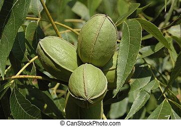 Cluster of green pecans in Tree