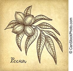 Pecan ink sketch - Ink sketch of pecan branch. Hand drawn...