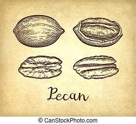 Pecan ink sketch - Pecan set. Ink sketch of nuts. Hand drawn...