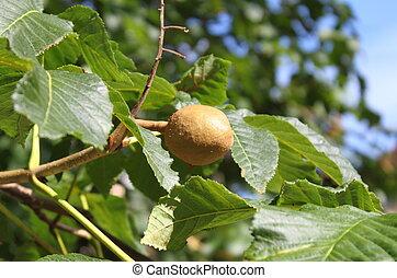 Pecan nut on the tree