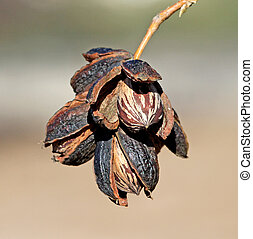 Ripe Pecan nuts ready to be picked