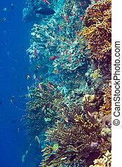 peces, corals.