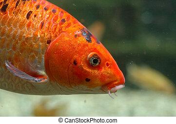 peces de naranja, submarino