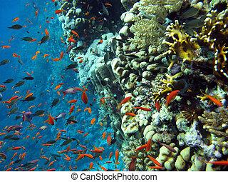 peces, escuela, barrera coralina