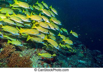 peces, escuela, maldivas, amarillo