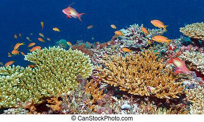 peces, escuela, maldivas, barrera coralina