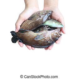 peces marinos, en, mano.