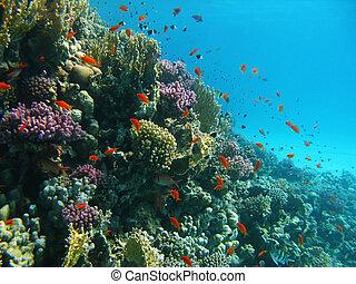 peces tropicales, barrera coralina