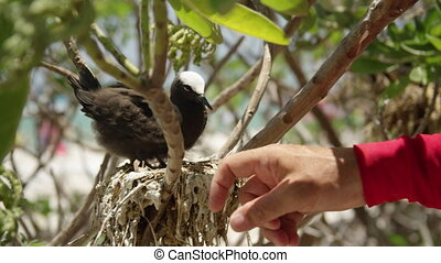 Pecking a man's hand - A white capped noddy pecking a man's...