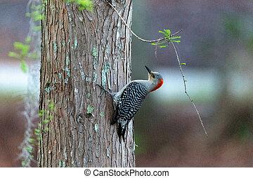 Pecking red bellied woodpecker Melanerpes carolinus on a ...