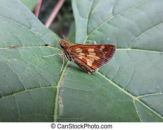 Peck`s Skipper Butterfly