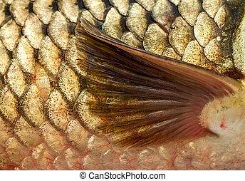 Pectoral fin of golden carp. Close-up, macro.