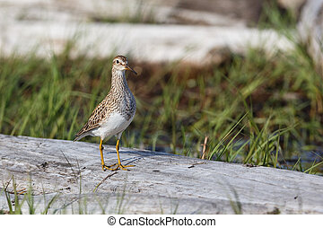 pectoral Sandpiper bird at Richmond BC Canada