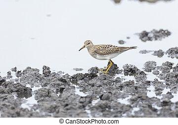 Pectoral Sandpiper bird - Pectoral Sandpiper at Vancouver...
