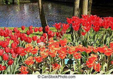 ped, tulipanes, cerca, beutiful, charca, en, flor, parque, keukenhof, holanda