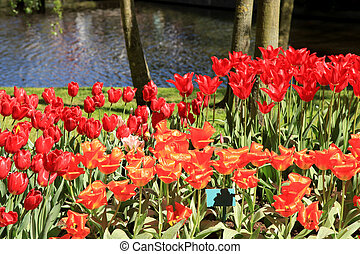 Ped tulips near beutiful pond in flower park Keukenhof, Holland