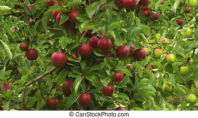 Pedestal shot of a tree full of ripe red apples. Another...