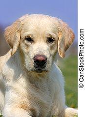 pedigrí, perro, perro cobrador dorado, en, el, verano