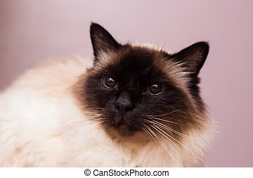 Pedigree Birman cat