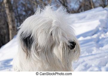 Bobtail dog portrait