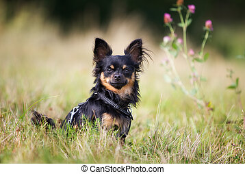 Pedigree chihuahua dog - Pedigree dog outdoors on a sunny...