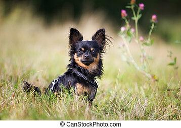 Pedigree chihuahua dog - Pedigree dog outdoors on a sunny...