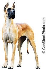 Great Dane Dog - Pedigree Great Dane Dog over the white...