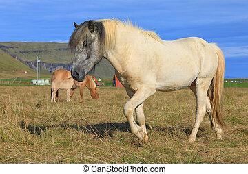 Pedigree Icelandic horse