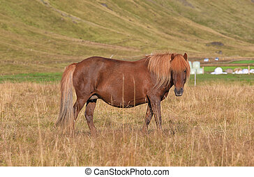 Pedigree Icelandic horse grazing in the field