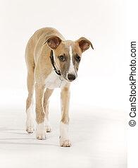 Pedigree whippet dog