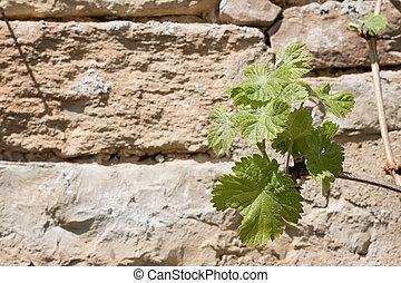 pedra, folhas, parede, verde, videira