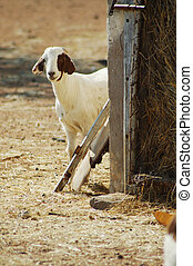 goat peeking from behind the barn