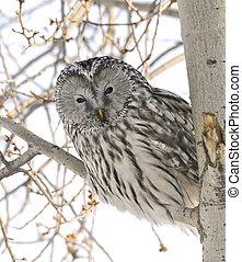 Ural Owl - Peek-a-Boo Ural Owl in Popular Tree