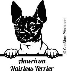 Peeking Dog - American Hairless Terrier breed - head isolated on white
