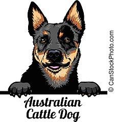 Peeking dog - Australian Cattle Dog - dog breed. Color image...