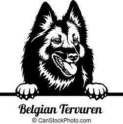 Peeking Dog - Belgian Tervuren breed - head isolated on ...