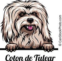 Peeking dog - Coton de Tulear - dog breed. Color image of a ...