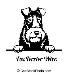 Peeking Dog - Fox Terrier Wire breed - head isolated on white