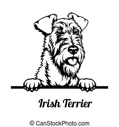Peeking Dog - Irish Terrier breed - head isolated on white