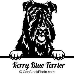 Peeking Dog - Kerry Blue Terrier breed - head isolated on white